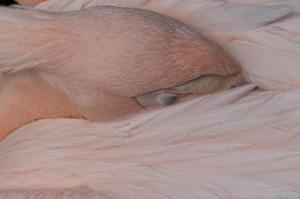 Makrobetrachtung eines schlafenden Pelikans