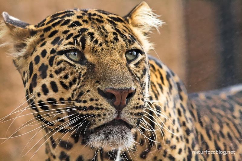 Teneriffa: Jaguar und Puma (Junglepark)