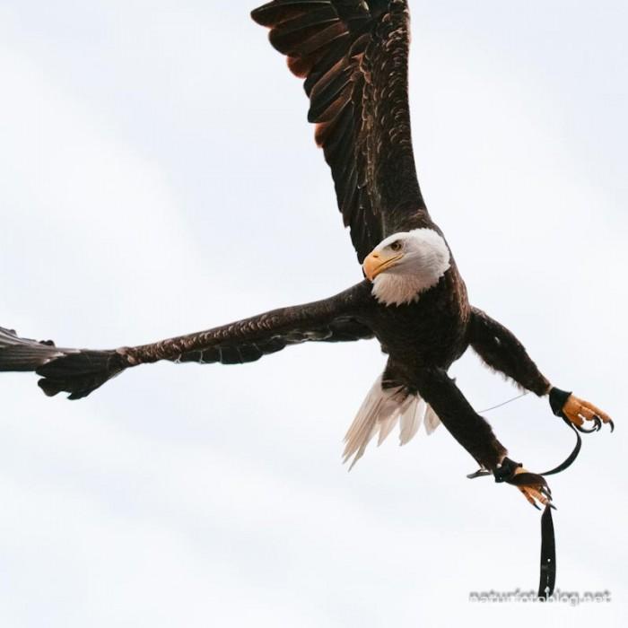 Seeadler (Flugshow, Jungle-Park)