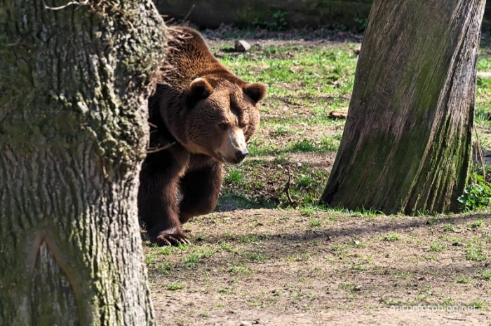Braunbär (Wisentgehege Springe)