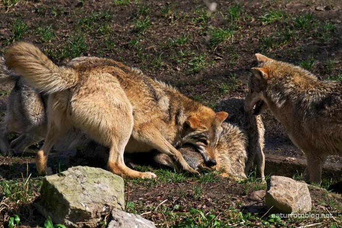 Wolf (Wisentgehege Springe)