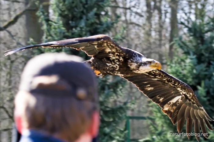 Weißkopfseeadler (Falkenhof im Wisentgehege)