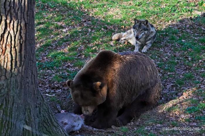 Bär und Wolf (Wisentgehege Springe)