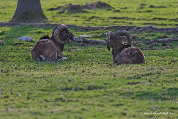 Mufflon (Wisentgehege Springe)